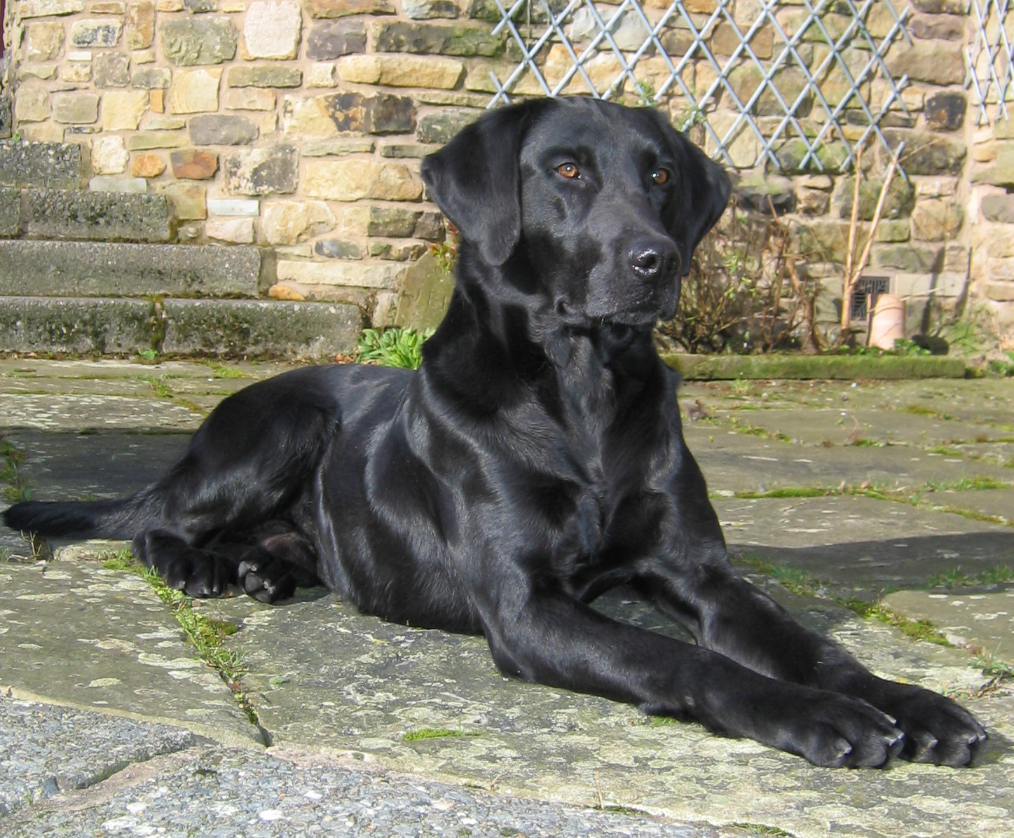 Field Trial Labrador